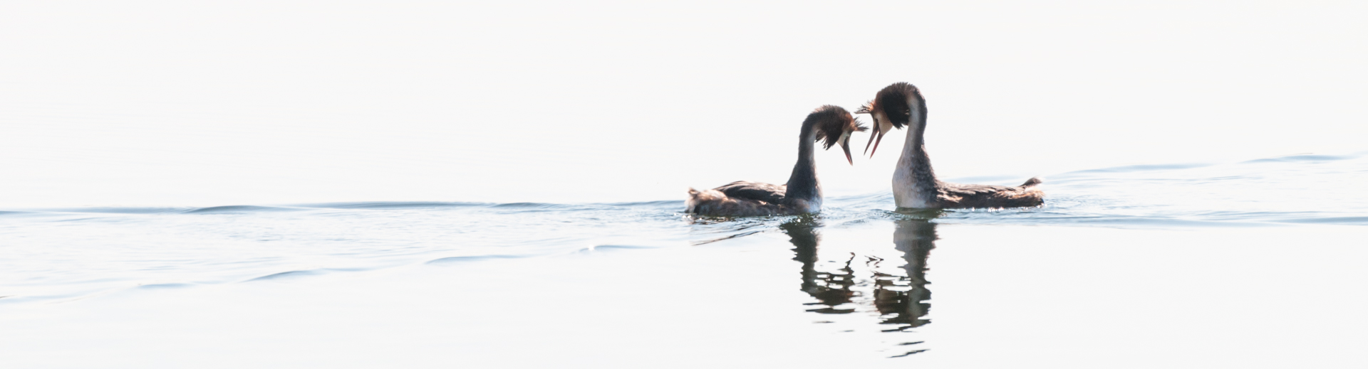 Contact between two grebes