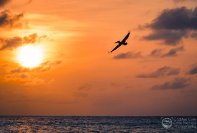 A pelican is flying by during sunset at Eagle Beach, Aruba.