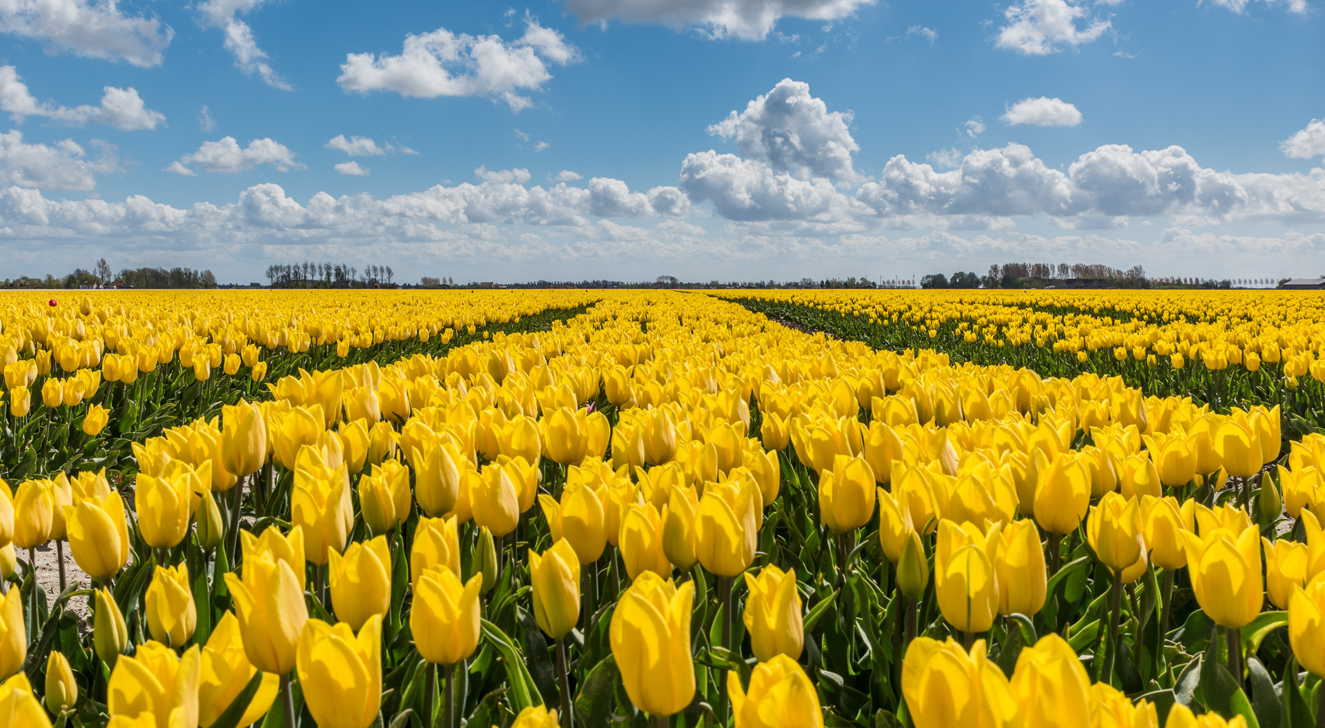 Yellow tulips under a beautiful blue clouded sky.